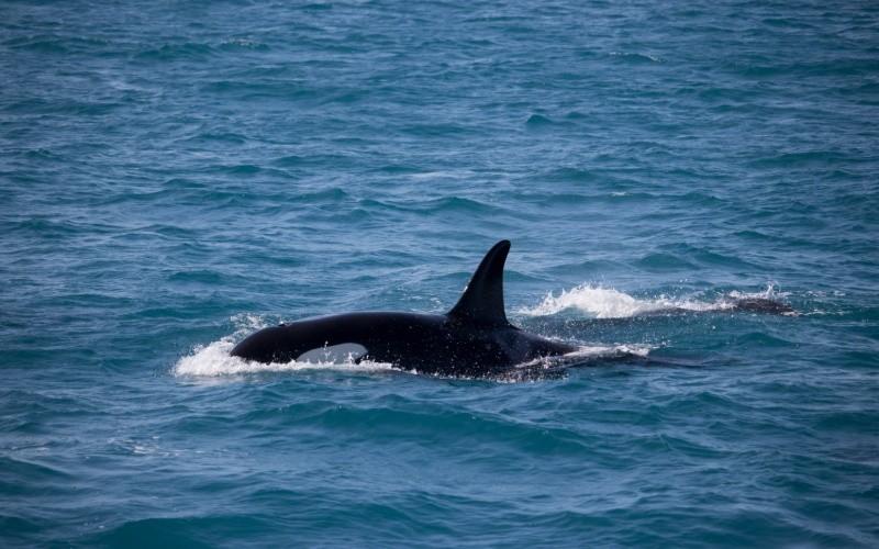Jour 3 : Observation des baleines– Port de Reykjavik (durée environ 3 heures) dans la mâtinée