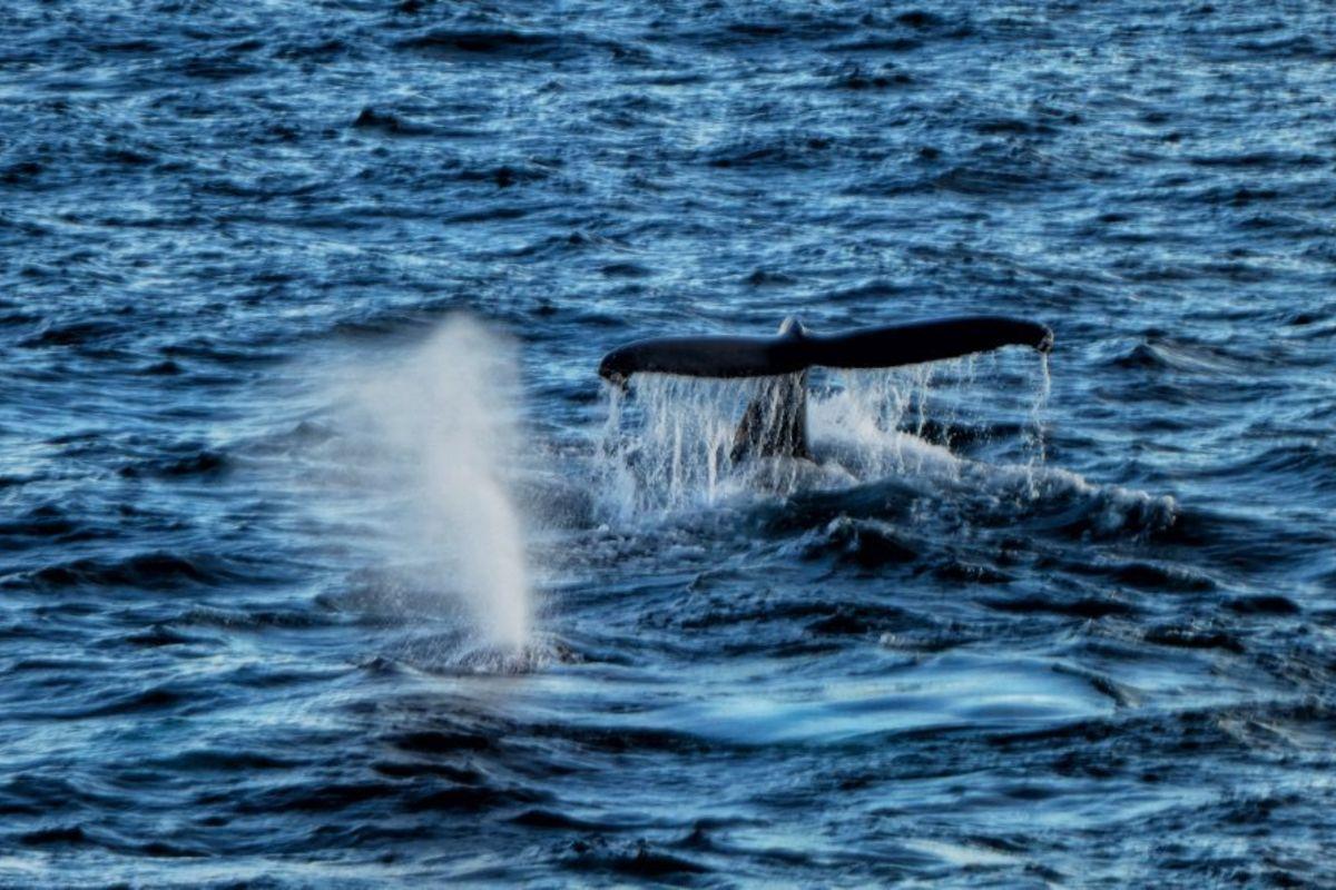 Observation des baleines depuis le centre-ville d'Akureyri