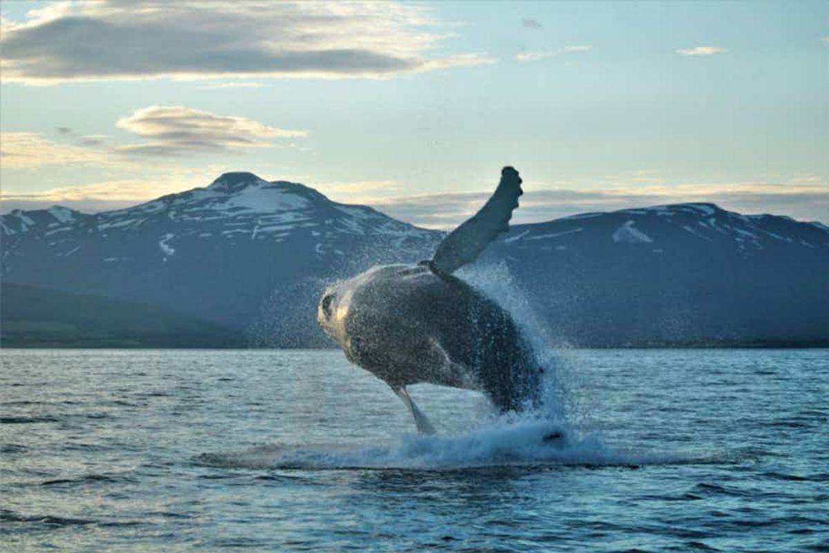 Baleines à bosse dans le fjord Eyjafjord   Au départ d'Akureyri