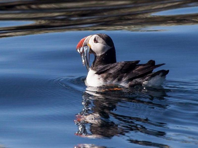 Super Saver Icelande : croisière d'observation d'oiseaux marins plus croisière d'observation des baleines au départ de Reykjavik